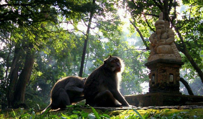جنگل میمون ها در اوبد